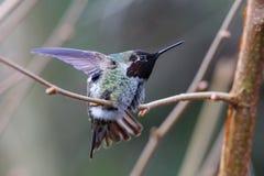 Male Annas Hummingbird royalty free stock photo