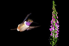 Male Annas Hummingbirds hover in mid-air in the garden Royalty Free Stock Images