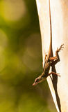 A male Anolis lizard on exhibit Stock Image