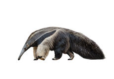 Male of ant-eater isolated over a white Royalty Free Stock Photography