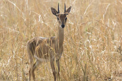 Male antelope oribi standing in the middle of dry grass in the s Royalty Free Stock Image