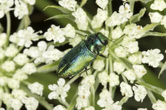 Male of Anthaxia fulgurans in natural habitat / jewel beetle Royalty Free Stock Photos