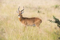 Male antilop - impalabock - reedbuck Royaltyfria Foton