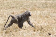 Male anubis baboon walking among dry grass on savanna in dry sea Royalty Free Stock Image