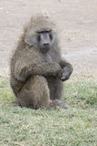 Male anubis baboon who sits on roadside in eastern Africa Stock Photography
