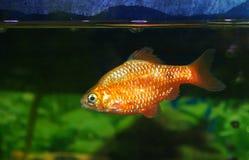 Male aquarium fish. Orange gold fish at water level Stock Photos