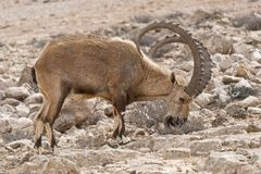 Male Ibex Browsing in Natural Habitat near Mitspe Ramon in Israel stock photography
