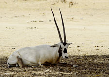 Male of arabian oryx (Oryx leucoryx ) Stock Photos