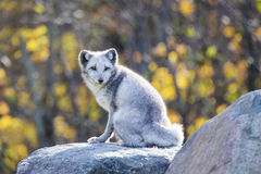 Male Arctic fox Royalty Free Stock Photos
