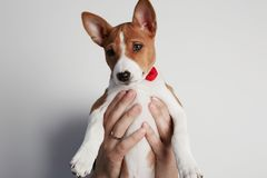 Male arm holds up a basenji puppy dog isolated over white. Copy paste space. Male arm holds up a basenji puppy dog isolated over white. Copy paste space royalty free stock image