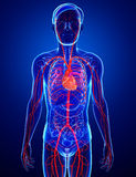 Male arteries artwork Stock Images
