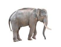 Male asia elephant isolated Stock Photography