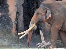 Male Asian Elephant Stock Photo
