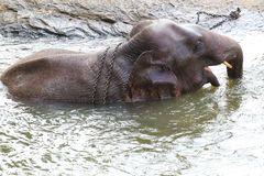Asian elephant in chains is bathing, cruelty to animals. Male of asian elephant in chains is bathing, cruelty to animals royalty free stock images