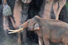 Male Asian Elephant Eating Stock Photos