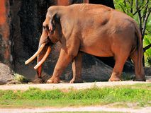 Male Asian elephant walking Royalty Free Stock Photo