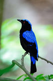 Male Asian Fairy Bluebird Stock Images