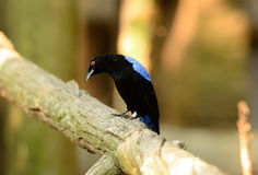 Male Asian Fairy Bluebird (Irena puella) Royalty Free Stock Images