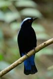 Male Asian Fairy Bluebird Irena puella Stock Photos