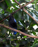 Male Asian Fairy Bluebird Irena puella. Black and Blue bird, a male Asian Fairy Bluebird Irena puella Royalty Free Stock Photo