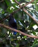 Male Asian Fairy Bluebird Irena puella. Royalty Free Stock Photo