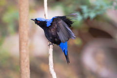 Male Asian Fairy Bluebird (Irena puella) Royalty Free Stock Image