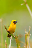 Male Asian Golden Weaver. Close up of Male Asian Golden Weaver Stock Images