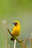 Male Asian Golden Weaver. Close up of Male Asian Golden Weaver Stock Photography
