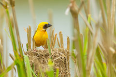 Male Asian Golden Weaver. With his nest Stock Images