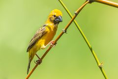 Male asian golden weaver. (Ploceus hypoxanthus) act on the branch in nature Stock Photos