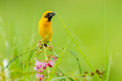 Male Asian golden weaver(Ploceus hypoxanthus). Catch on the flower in nature of Thailand Royalty Free Stock Photo