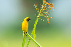 Male Asian golden weaver. Ploceus hypoxanthus    in nature at Petchaburi in  Thailand Stock Photography