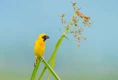 Male Asian golden weaver. (Ploceus hypoxanthus) at Petchaburi in Thailand Stock Photo