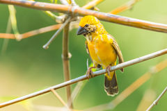 Male asian golden weaver. (Ploceus hypoxanthus) stair st us in nature Royalty Free Stock Photo
