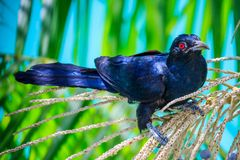 Male Asian Koel Royalty Free Stock Image