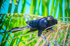 Male Asian Koel Royalty Free Stock Photography
