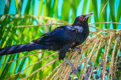 Male Asian Koel Royalty Free Stock Images