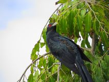 Male Asian Koel perched on tree Royalty Free Stock Photo
