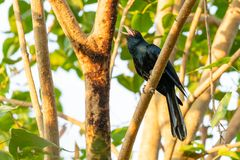 Male Asian Koel perching and singing on a Bo tree perch stock photos