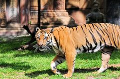 Male Asian Tiger Walking Royalty Free Stock Images
