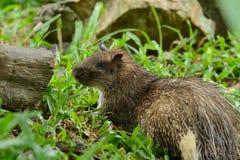 Male Asiatic Brush-tailed Porcupine (Atherurus macrourus) Stock Photo