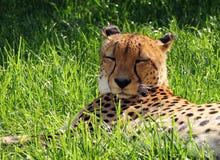 Male Asiatic Cheetah Acinonyx jubatus venaticus resting on the. Male Asiatic Cheetah Acinonyx jubatus venaticus on the ground royalty free stock photo