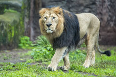 Male asiatic lion. Coming to you Royalty Free Stock Images