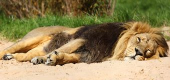 Male Asiatic lion dozing at Chester Zoo. A male Asiatic lion is dozing in the sand at Chester Zoo, whilst keeping keeps one eye open stock photo