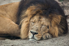 Male Asiatic lion (Panthera leo persica). Stock Photo