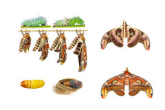 Male attacus atlas moth life cycle. On white stock image