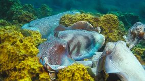 Male Australian giant cuttlefish protecting his female as she tries to lay her eggs during the mating migration season royalty free stock photography