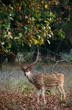 Male Axis Axis. Male Axis or Spotted Deer (Axis axis) INDIA Kanha National Park Stock Images