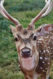 Male axis deer royalty free stock photos