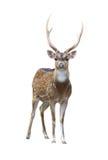 Male Axis Deer Stock Photos